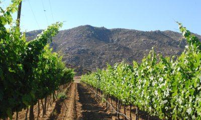 Dentro los viñedos ando camino. Foto: Conexión Turística.