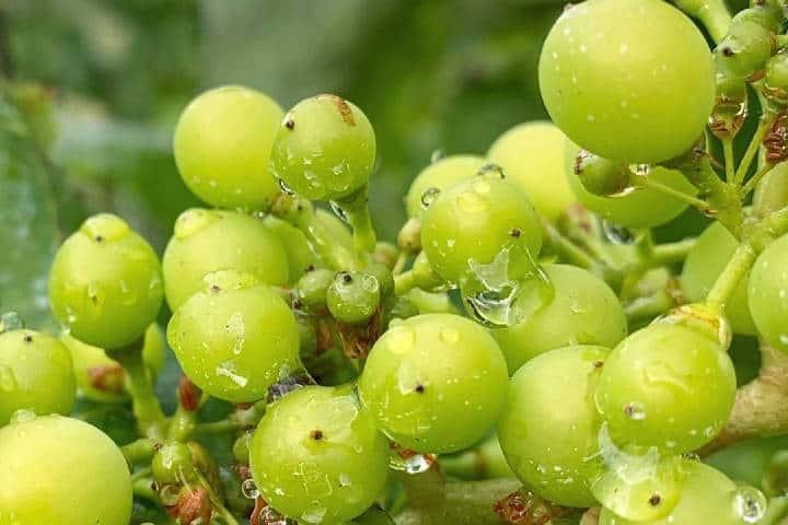 Frutos de los viñedos Foto: lavinaventura | Instagram