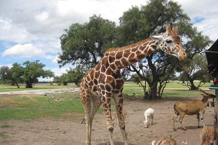 Jirafa en el safari de Reino Animal Foto: Jorge Caballero