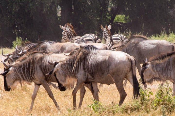 Los ñus se mueven juntos y pueden tener contacto con otras especies Foto: Ray in Manila
