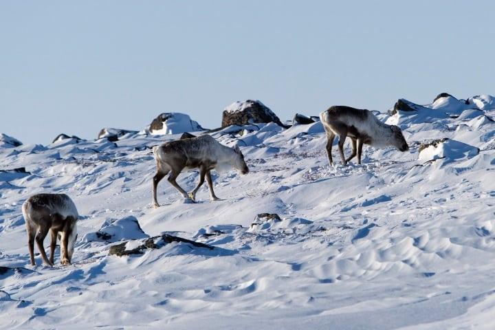 Una manada de caribúes cruzando la pesada nieve Foto: Tourist Destinations
