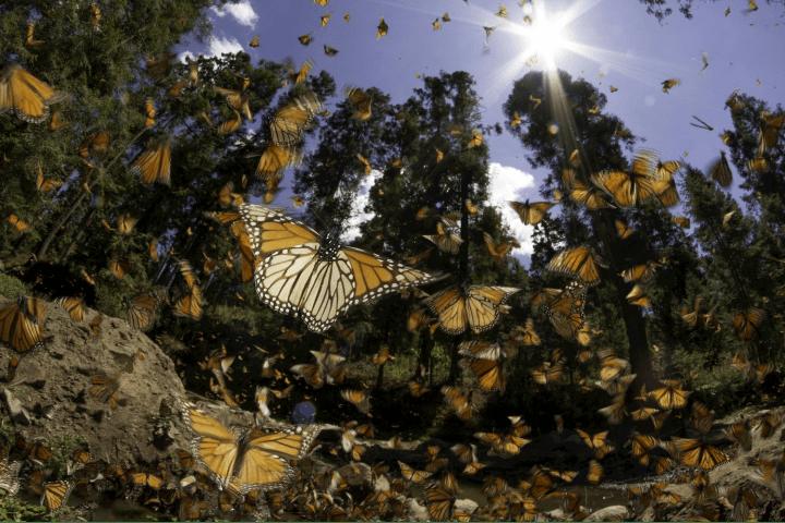 Mariposas Monarca Foto: 88.9 Noticias
