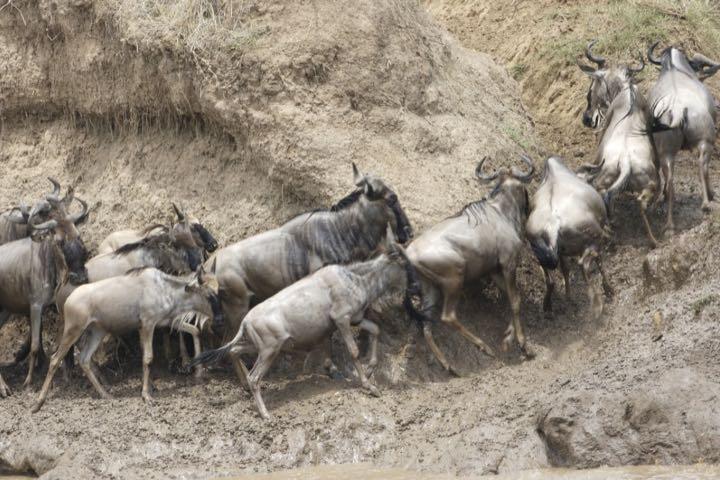 Migración del ñu Foto: Lip Kee
