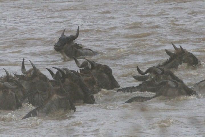 Ñus cruzando el río Foto: Lip Kee