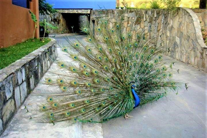 Pavo Real en el jardin de la hacienda Foto: booking