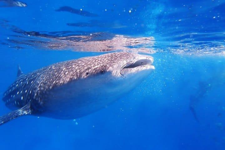 ¿Sabías que el tiburón ballena es el pez más grande del mundo? Foto: Olga Tsai | Unplash