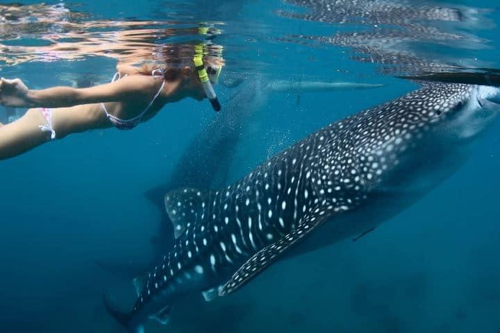 Los lugares para bucear en Baja California te permiten hacerlo con el Tiburón Ballena. Foto: Archivo