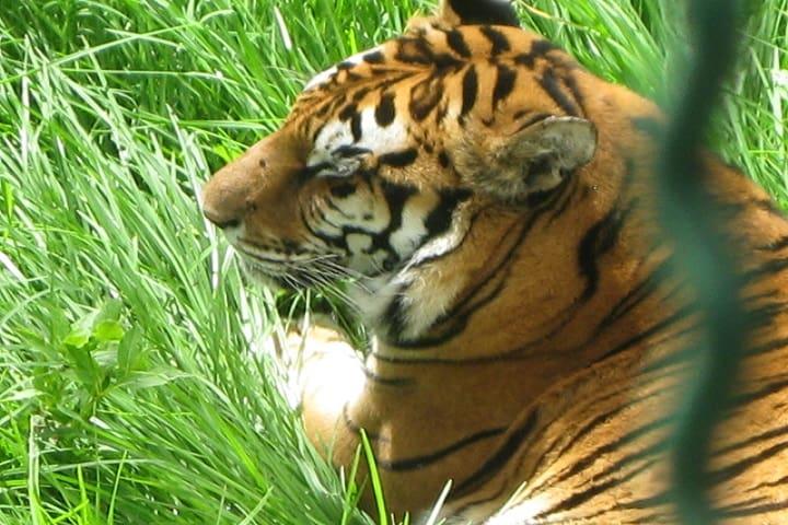 Tigre de Reino Animal Foto: Jorge Caballero