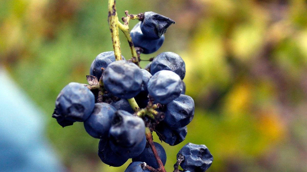Uva para vino. Foto por Fery Dvlz