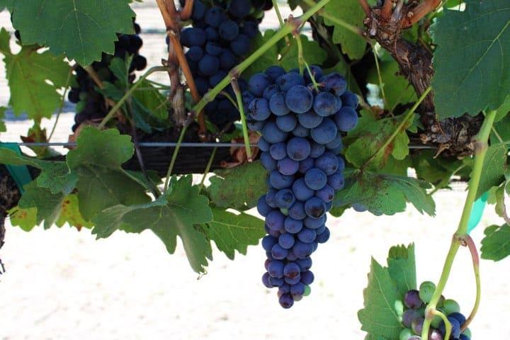 Uvas para los vinos de DE COTE Foto DE COTE Casa Vitivinícola | Facebook