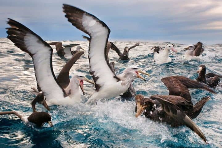 Si una de estas aves es impresionante, ¡Imagínate a muchas más juntas! Foto: Geo Innova