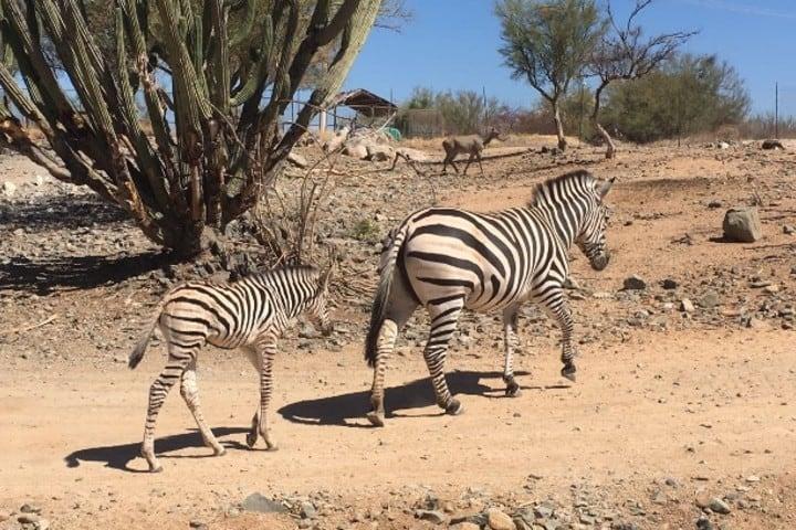 Ponte en contacto con los animales en este safari Foto: Expreso