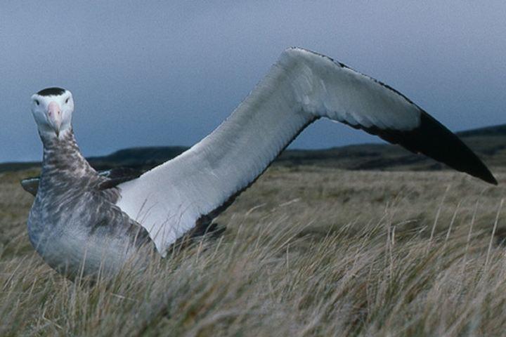 ¿No son imponentes las alas de esta impresionante ave? Foto: Archivo