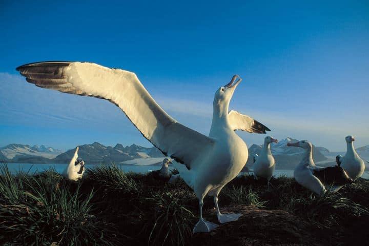 ¡Admira la gloriosa pose que hace el ave albatros Foto: Ocean Wide Expeditions