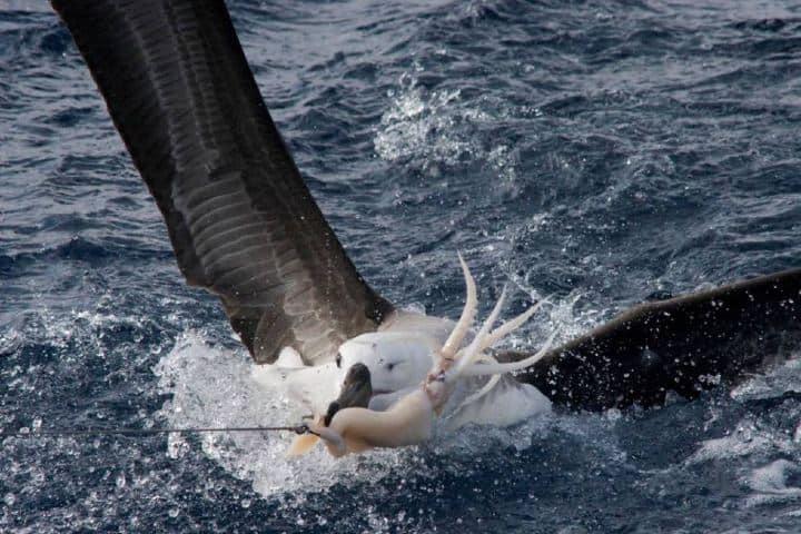 Es increíble la forma en la que el ave albatros consigue su alimento Foto: Archivo