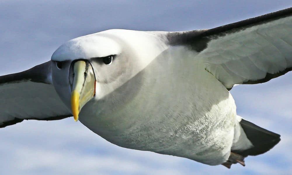 El imponente y magistral ave albatros surcando los cielos Foto: Sexado de Aves