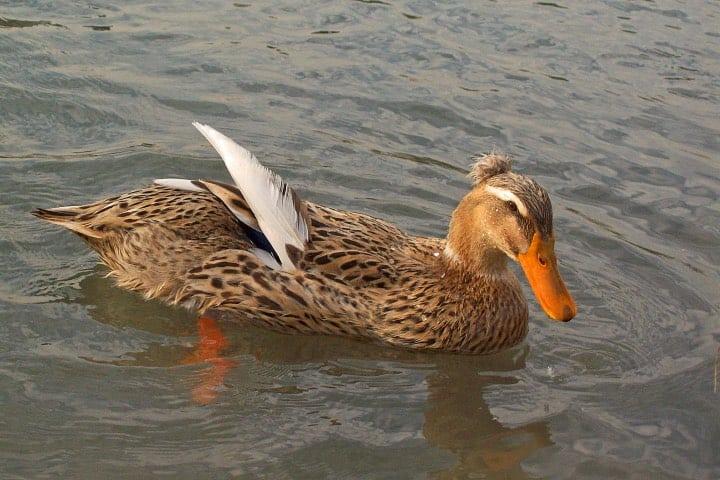¡Qué hermoso ejemplar del pato de collar! Foto: Carolina Henríquez