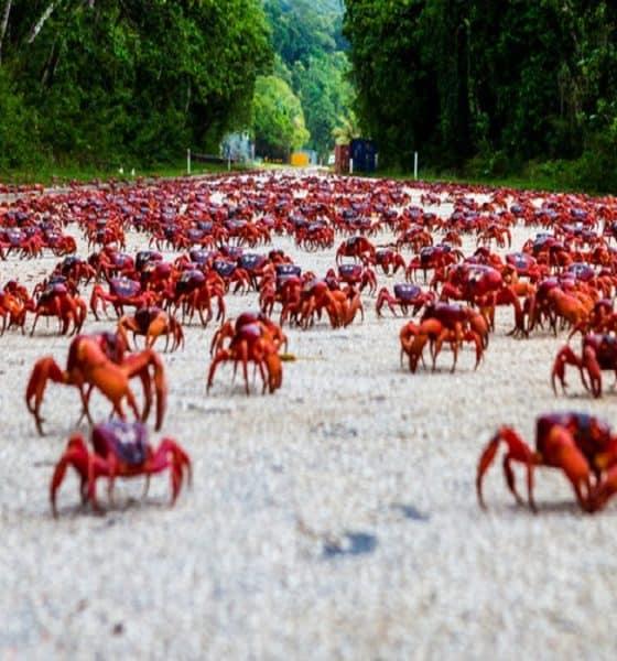 Es momento de saber acerca de la migración del Cangrejo Rojo. Foto: Una breve historia
