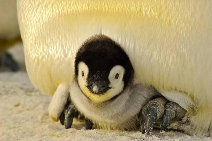 Cría de pingüino emperador Foto: Archivo