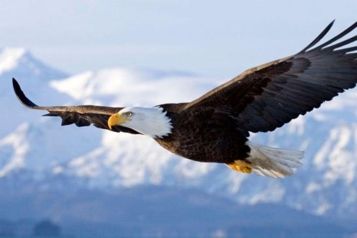 El águila calva es una de las especies que podrás ver aquí. Foto: Anipedia