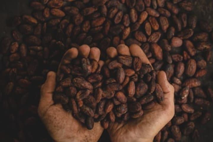 Festival del Cacao al Chocolate en Monterrey. Semillas de Cacao. Imagen. Pablo Merchán Montés