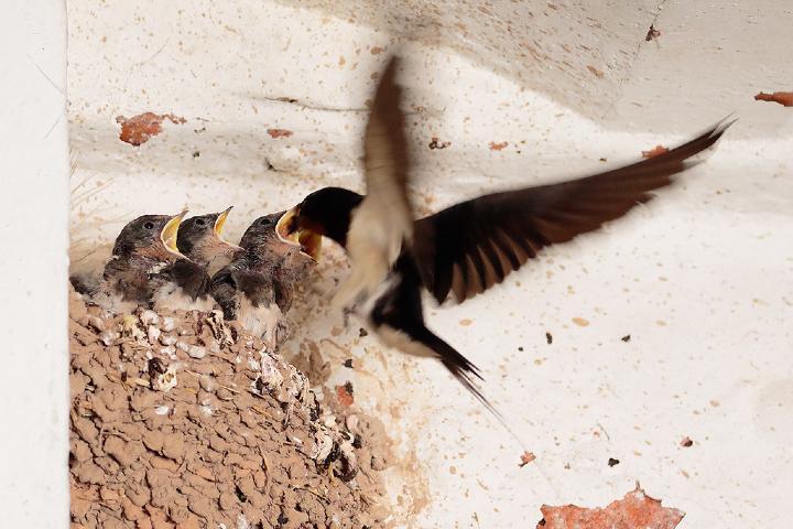 Golondrina-con-sus-crias.-Foto-Ricara-Flickr