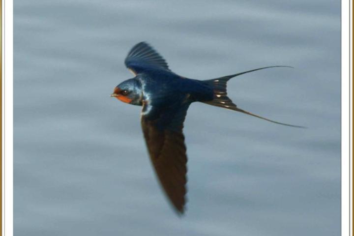 Golondrina-volando.-Foto-Ferran-Pestana-Flickr