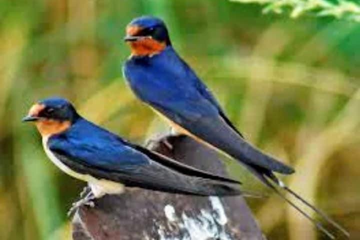 La belleza de la Golondrina Foto: Hablemos de aves