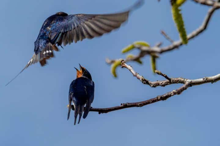 Migración de Golondrinas Foto: verne_rdm | Flickr
