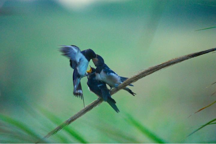 Pequeño grupo de estas hermosas aves Foto: rjime31 | Flickr