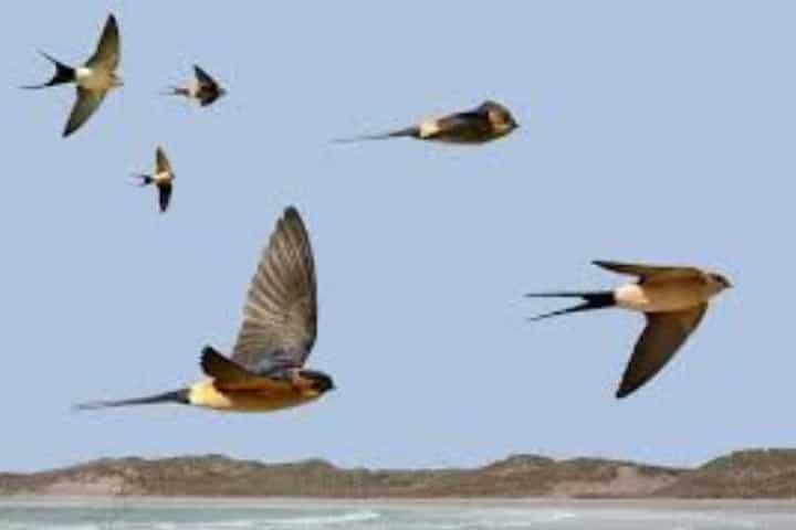 Migración de Golondrinas Foto: Hablemos de aves