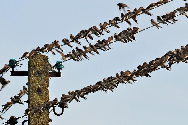Migración de golondrinas a Europa y África. Foto Jerzy Górecki