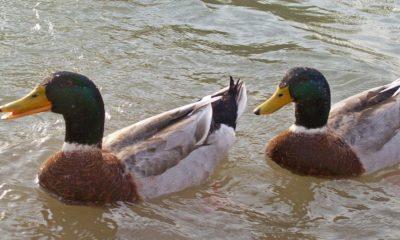 Migración del pato de collar Foto: Carolina Henríquez