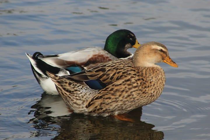 Pato de collar macho y hembra Foto: Axel Caviedes