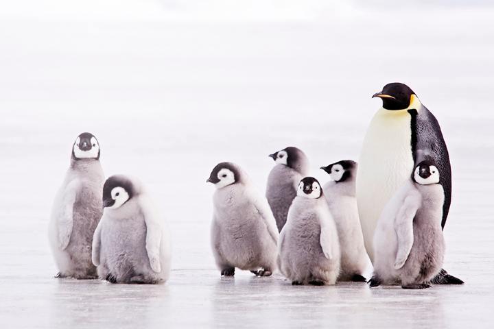 Pingüino emperador con crias Foto: Informe Facto