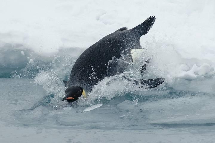 Pingüino saltando al océano Foto: Archivo