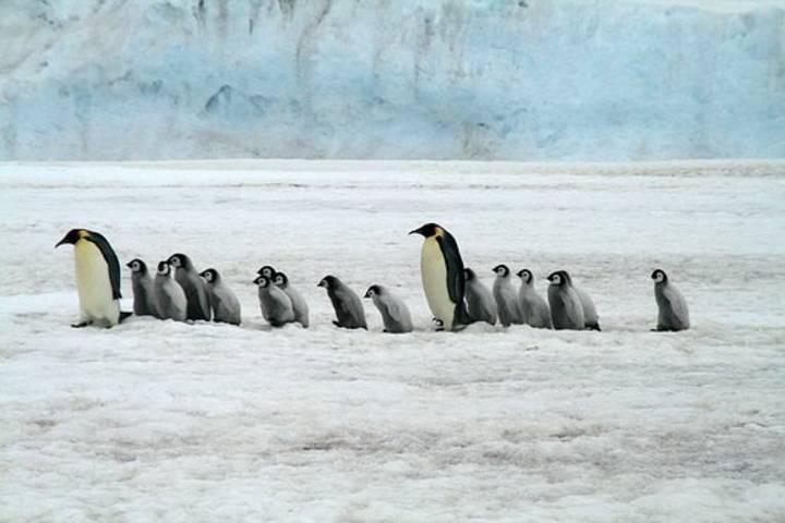 Pingüinos con crias Foto: Archivo