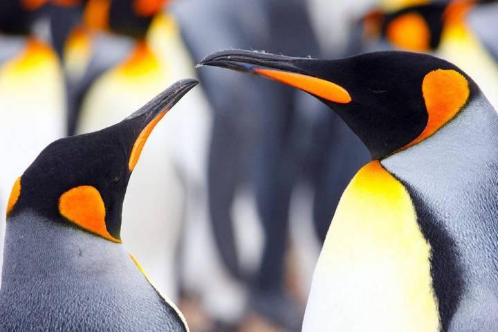 Pingüinos emperador Foto: El Universo