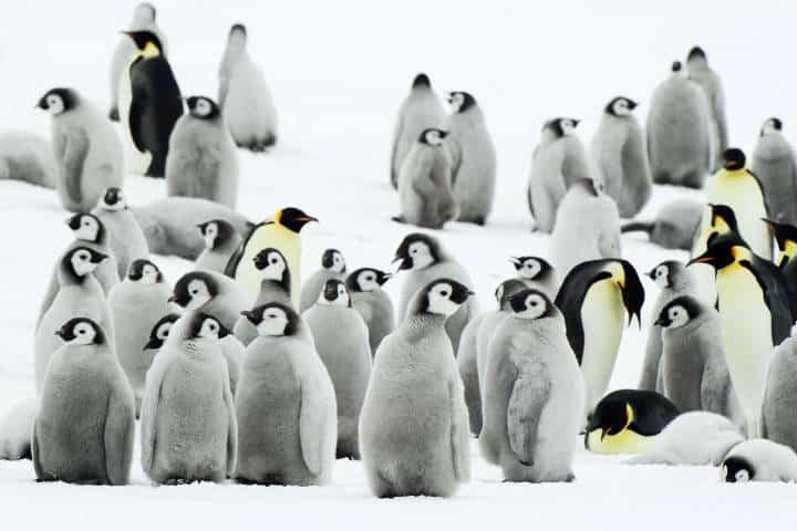 Pingüinos emperador Foto: imagexia