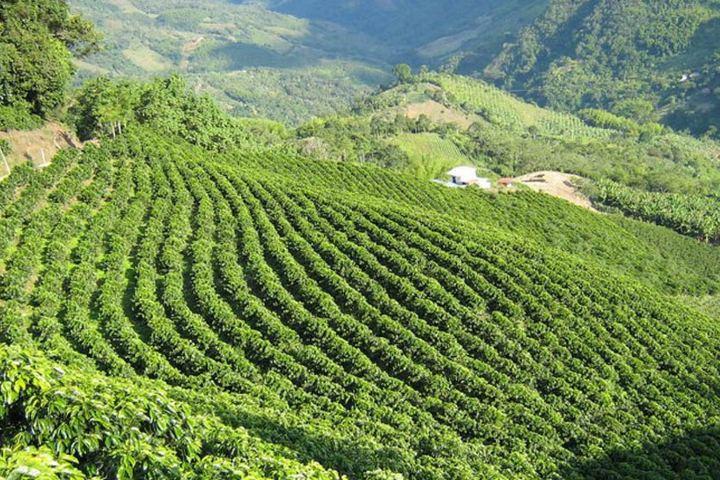 Plantío de café Foto: Diaria La Economía