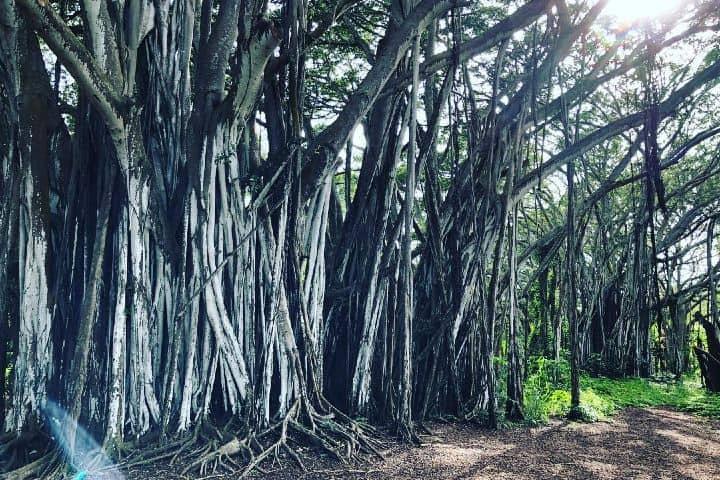 Refugio en el árbol Massive Banyan, lugar de filmación de la famosa serie Lost Foto: petrogrom | Instagram