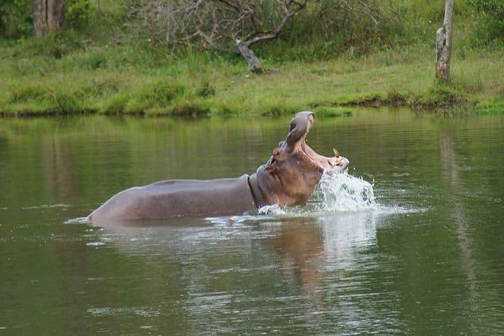 Vídeo hipopótamo comiendo sandías. Hipoótamo. Imagen. Alvaro Morales Ríos