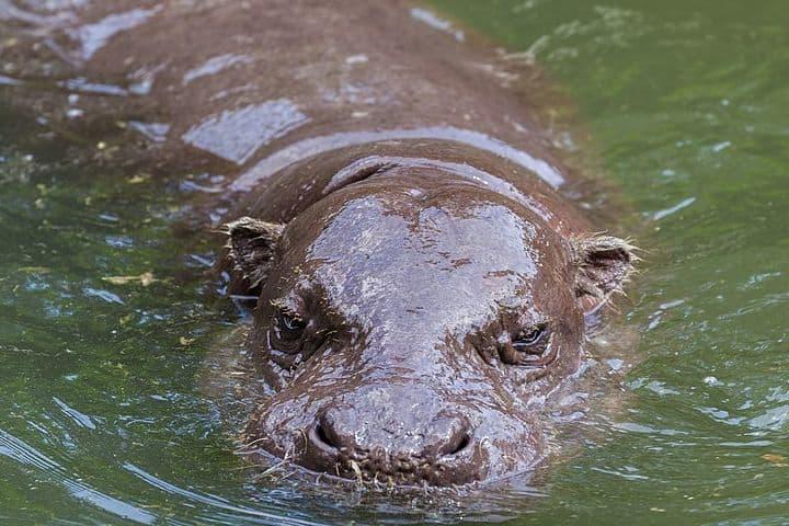 Vídeo hipopótamo comiendo sandías. Hipoótamo. Imagen. Diego Delso
