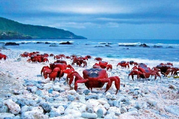 Todas las migraciones son en pro de preservar a las especies, y los cangrejos no son la excepción. Foto: Archivo