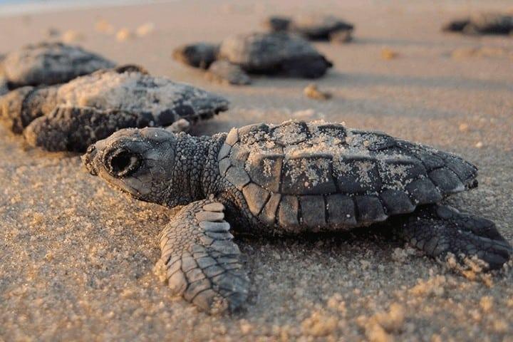 Presenciar el nacimiento de las tortugas en nuestro viaje a Campeche es indescriptible. Foto: Archivo.