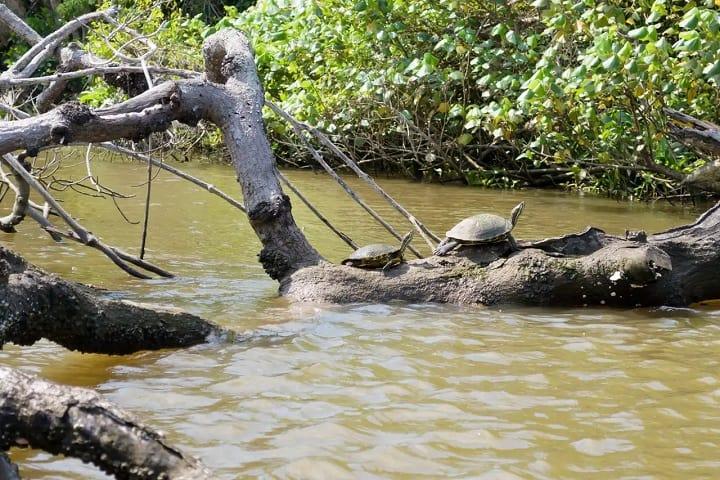 Aquí también podrás encontrar animales como estas tortugas. Foto: Tecolutla Veracruz