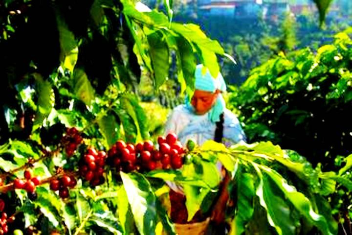 Café de Chiapas. Foto: El Heraldo de Chiapas