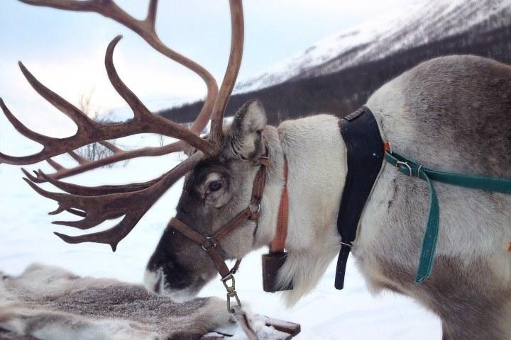 En la cultura  Sami se dedican a la crianza de renos. Foto: Enny More