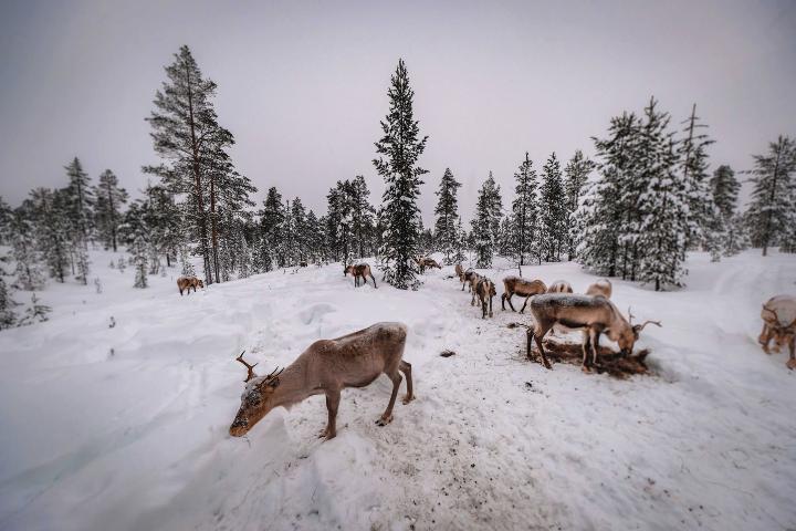 Renos de Laponia. Foto: Francesco-Ungaro