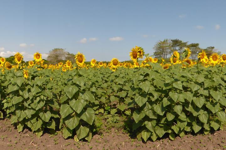 Campo de girasoles, una belleza natural. Foto: Diana Hoy